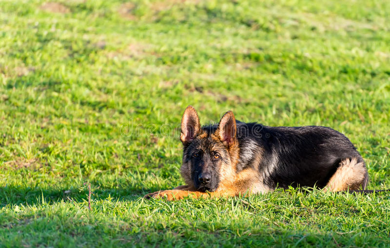 Πορτρέτο του υγρού τσοπανόσκυλου στοκ εικόνες με δικαίωμα ελεύθερης χρήσης