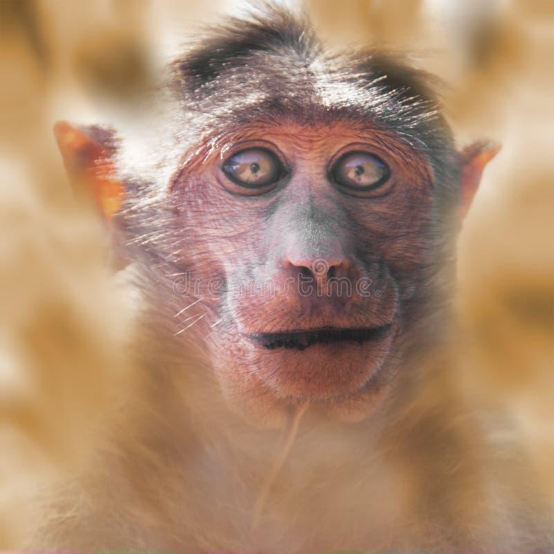 Πορτρέτο του φοβησμένου πιθήκου στοκ φωτογραφίες