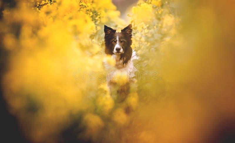 Πορτρέτο του χαριτωμένου γραπτού κόλλεϊ συνόρων Συνεδρίαση σκυλιών στον κίτρινο ανθίζοντας τομέα βιασμών Πολύ χαμηλό βάθος του το στοκ εικόνες