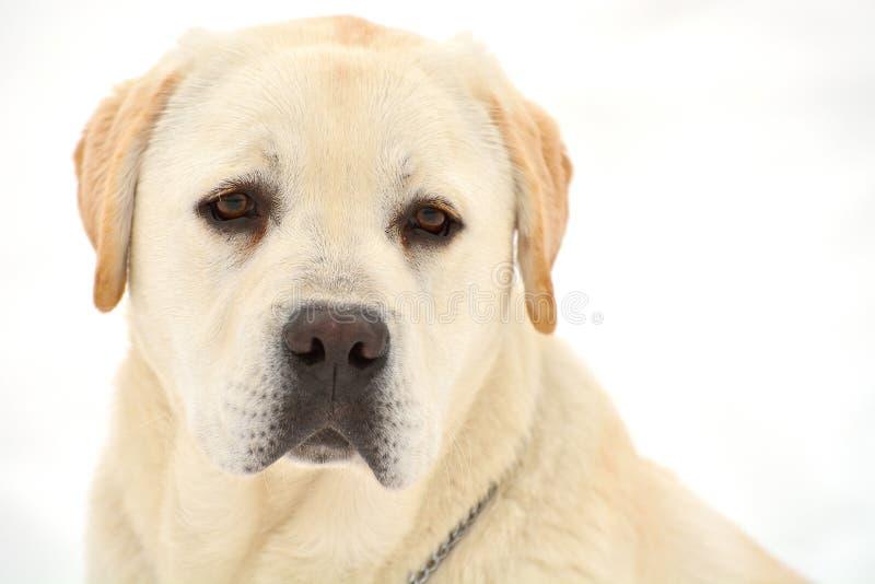 Πορτρέτο του χειμερινού Λαμπραντόρ στοκ εικόνα με δικαίωμα ελεύθερης χρήσης