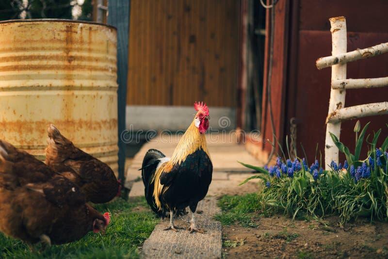 Πορτρέτο του χρυσού κόκκορα του Φοίνικας με την ομάδα εσωτερικών κοτών που ταΐζουν με το αγρόκτημα Κοτόπουλα με τον όμορφο κόκκορ στοκ φωτογραφία