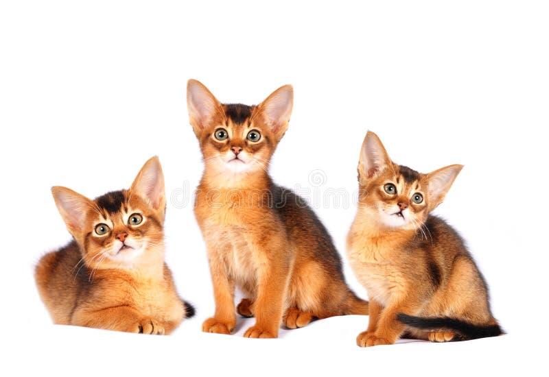 Πορτρέτο τριών abyssinian γατακιών στοκ εικόνες με δικαίωμα ελεύθερης χρήσης