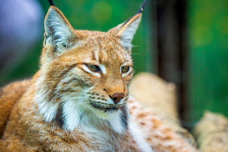 Πορτρέτο των ευρασιατικών λυγξ Πορτρέτο του άγριου θηλαστικού στοκ εικόνες