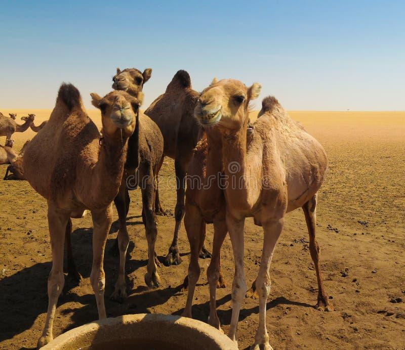 Πορτρέτο των καμηλών κατανάλωσης στην έρημο καλά στον ouled-Rachid, Batha, Chad στοκ εικόνα με δικαίωμα ελεύθερης χρήσης