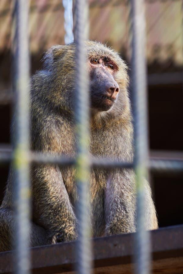 Πορτρέτο των λυπημένων baboon Hamadryas hamadryas Papio στοκ φωτογραφίες με δικαίωμα ελεύθερης χρήσης