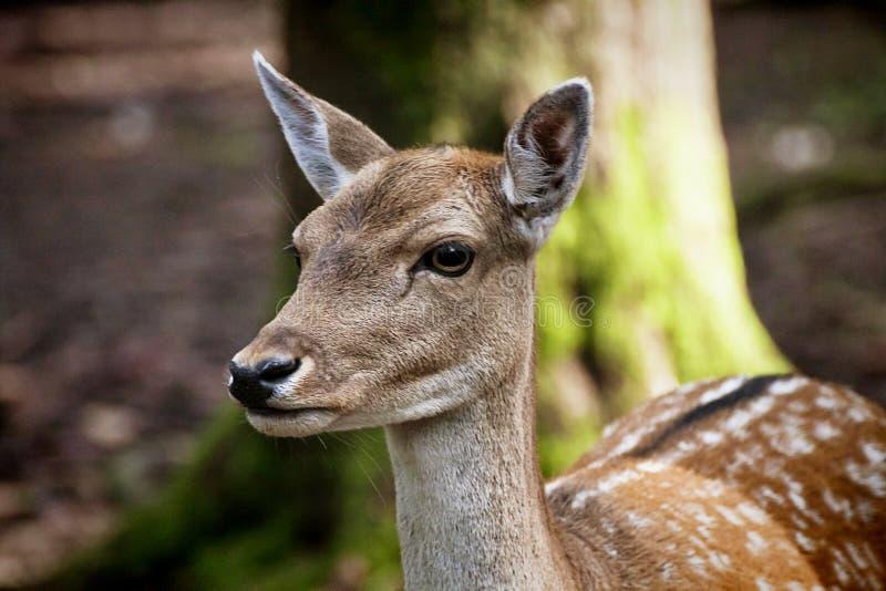 Πορτρέτο των νέων κόκκινων ελαφιών στις άγρια περιοχές στοκ εικόνα με δικαίωμα ελεύθερης χρήσης