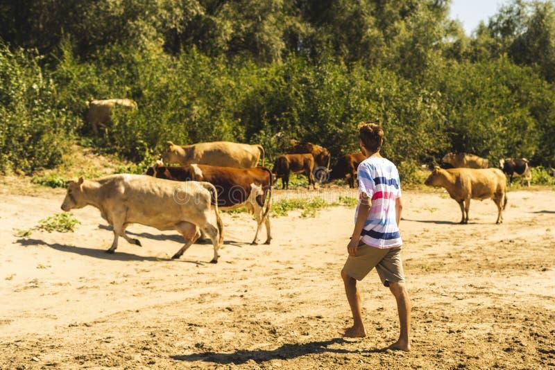 Πορτρέτο των νέων όμορφων γενειοφόρων αρσενικών sheeping αγελάδων αγροτών στο θερινό τομέα s στοκ εικόνα