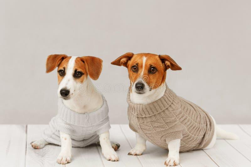 Πορτρέτο των χαριτωμένων σκυλιών στις πλεκτές μπλούζες στοκ εικόνες με δικαίωμα ελεύθερης χρήσης