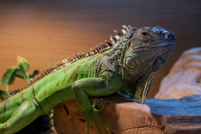Πορτρέτο φωτογραφιών ενός πράσινου Iguana στοκ εικόνα