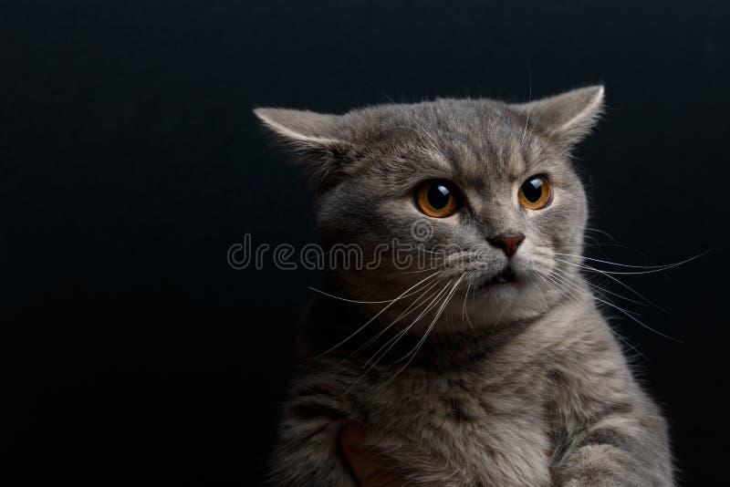 Πορτρέτο χαριτωμένου σκωτσέζικου ευθύ γατών στοκ εικόνες