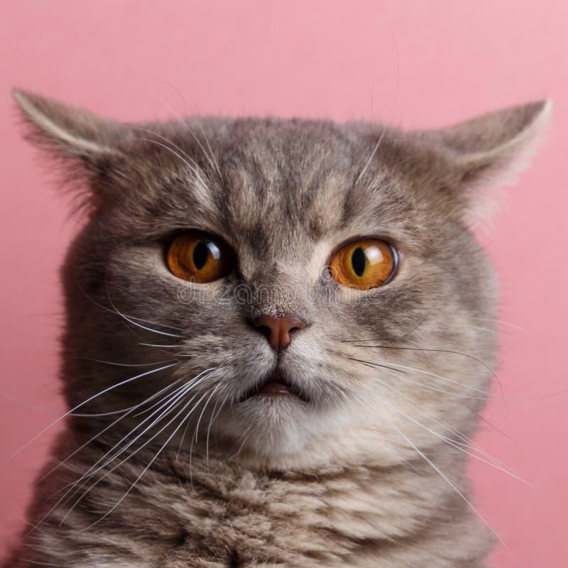 Πορτρέτο χαριτωμένου σκωτσέζικου ευθύ γατών στοκ φωτογραφίες με δικαίωμα ελεύθερης χρήσης