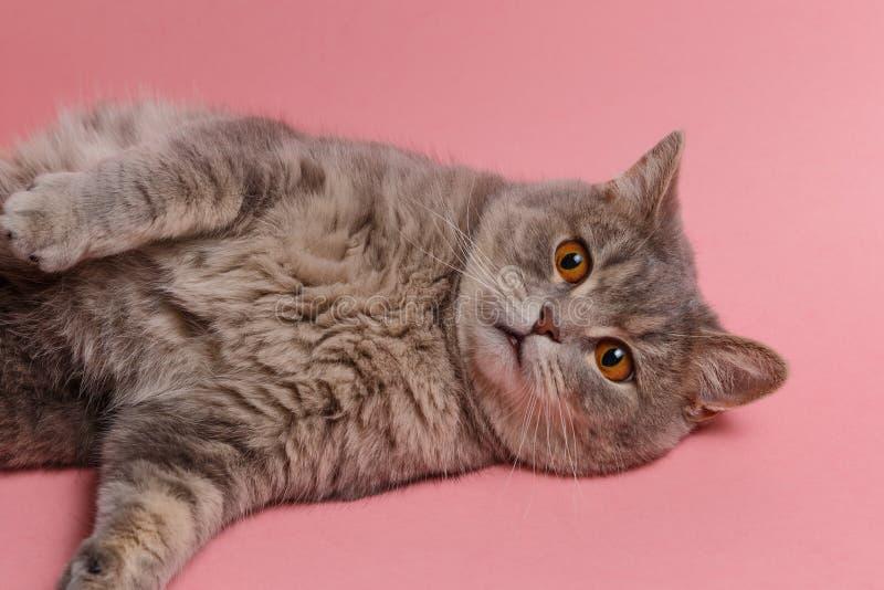 Πορτρέτο χαριτωμένου σκωτσέζικου ευθύ γατών στοκ εικόνα