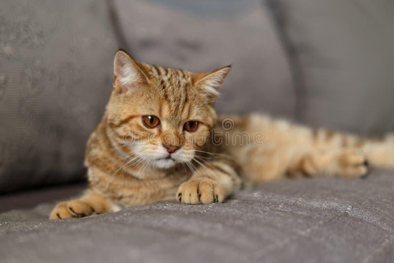 Πορτρέτο χαριτωμένο σκωτσέζικου ενός ευθύ γατακιών Σκωτσέζικη γάτα χρυσή στοκ εικόνες