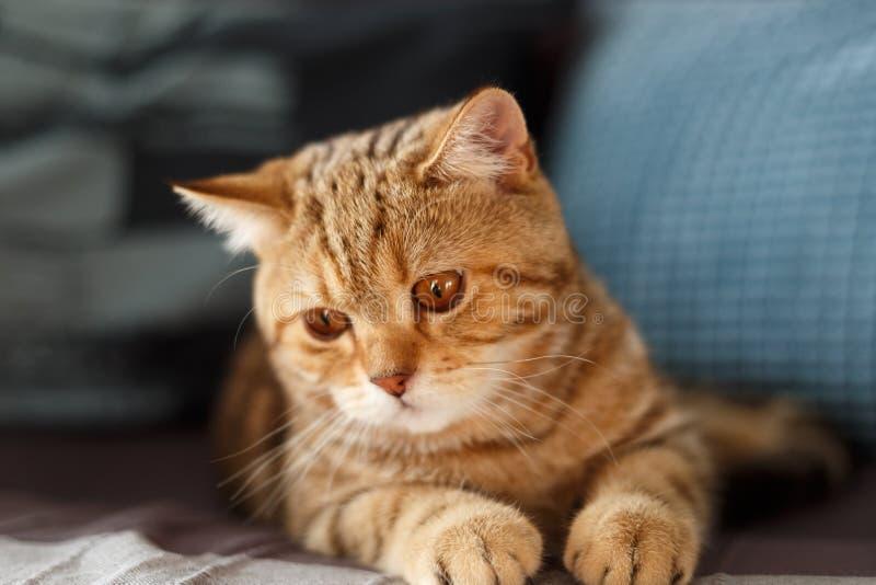 Πορτρέτο χαριτωμένο σκωτσέζικου ενός ευθύ γατακιών Σκωτσέζικη γάτα χρυσή στοκ φωτογραφία