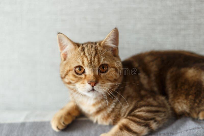 Πορτρέτο χαριτωμένο σκωτσέζικου ενός ευθύ γατακιών Σκωτσέζικη γάτα χρυσή στοκ φωτογραφίες