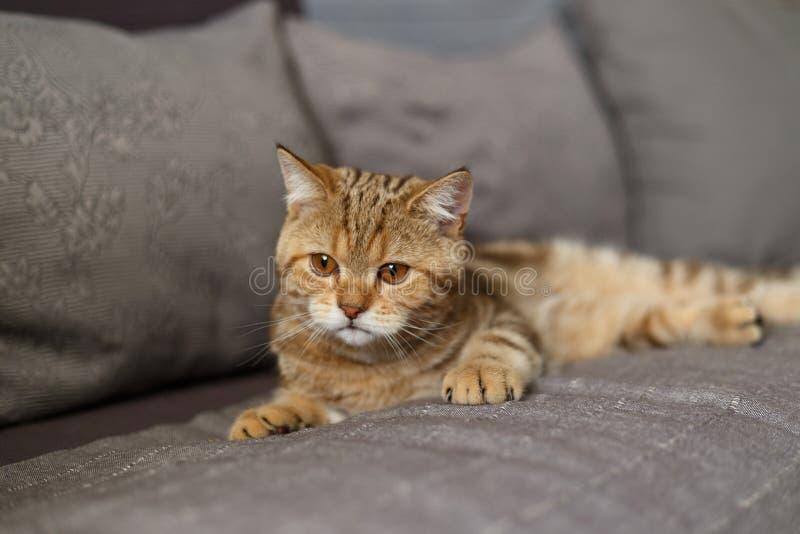 Πορτρέτο χαριτωμένο σκωτσέζικου ενός ευθύ γατακιών στοκ φωτογραφία με δικαίωμα ελεύθερης χρήσης