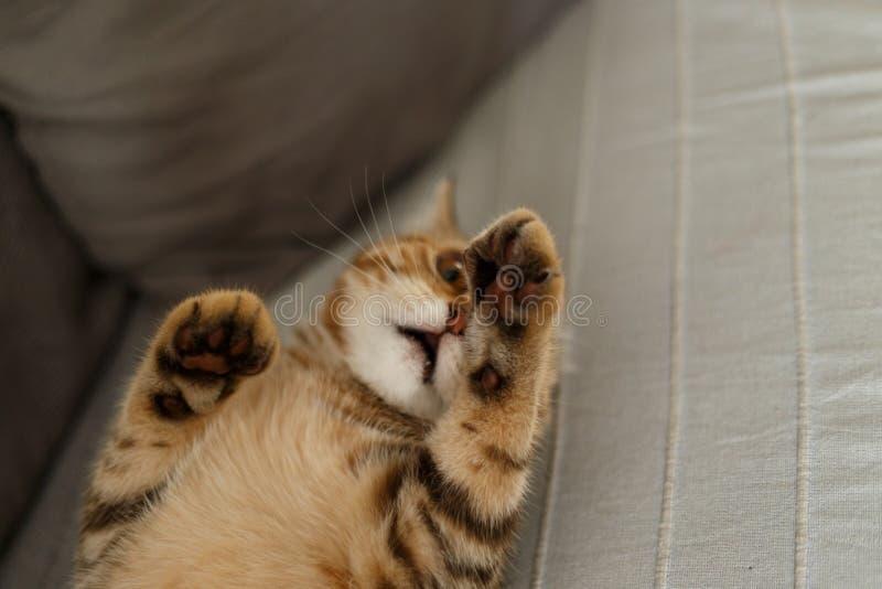 Πορτρέτο χαριτωμένο σκωτσέζικου ενός ευθύ γατακιών Σκωτσέζικο χρυσό μάρμαρο γατών στοκ εικόνα