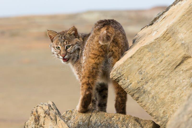 Πορτρέτο Bobcat στοκ εικόνες με δικαίωμα ελεύθερης χρήσης