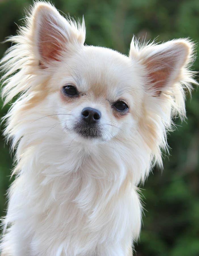 Πορτρέτο Chihuahua στοκ φωτογραφία με δικαίωμα ελεύθερης χρήσης