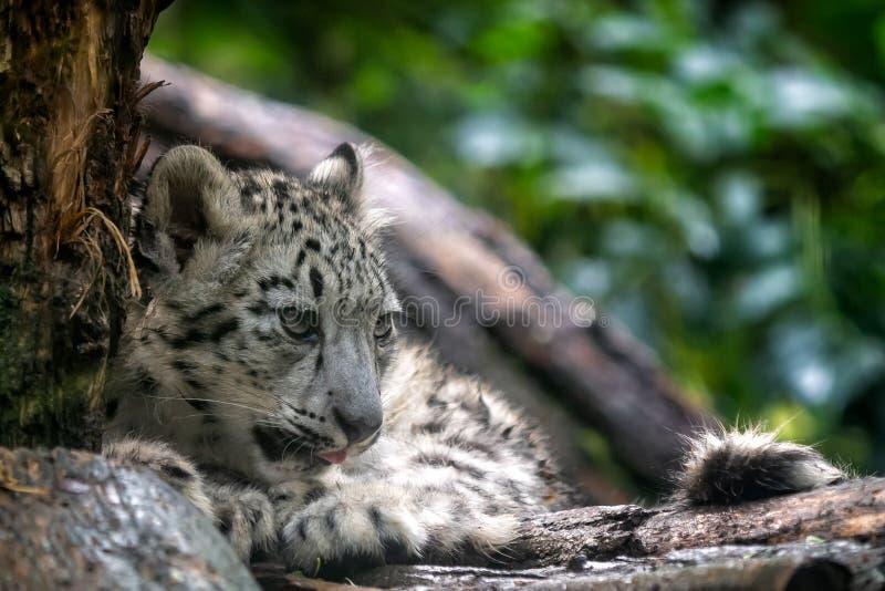Πορτρέτο cub λεοπαρδάλεων χιονιού, uncia Panthera στοκ φωτογραφίες