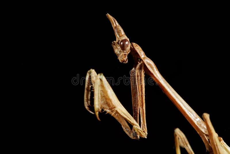 Πορτρέτο Empusa Ξηρό έντομο από τη συλλογή στοκ φωτογραφία