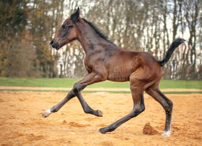 Πορτρέτο foal κόλπων στοκ εικόνες με δικαίωμα ελεύθερης χρήσης
