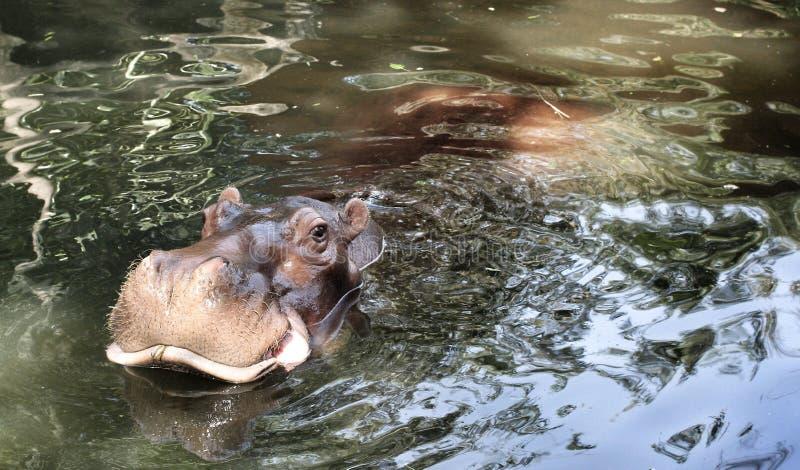 Πορτρέτο Hippo στοκ εικόνες