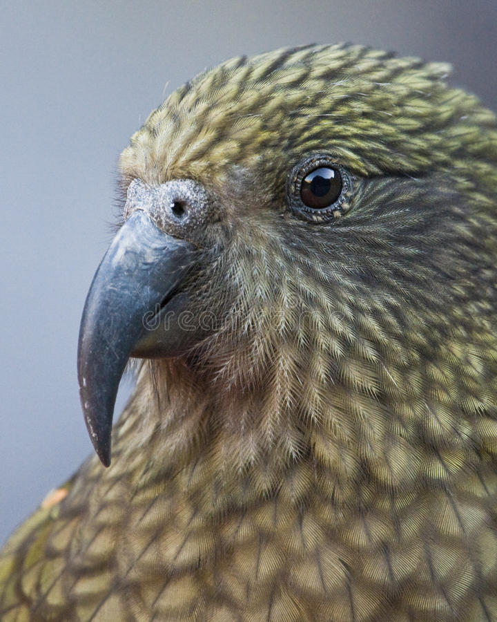 πορτρέτο kea στοκ φωτογραφία