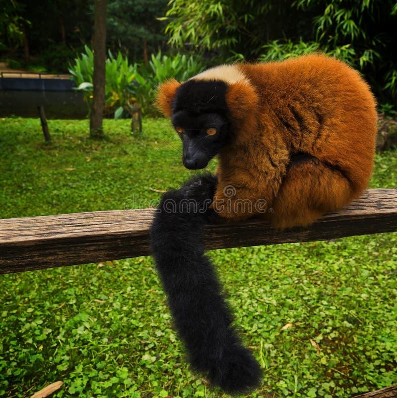 Πορτρέτο Lemur που κάθεται στο ξύλο στο ζωολογικό κήπο στοκ εικόνα με δικαίωμα ελεύθερης χρήσης