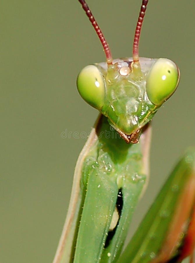 πορτρέτο mantis στοκ εικόνες