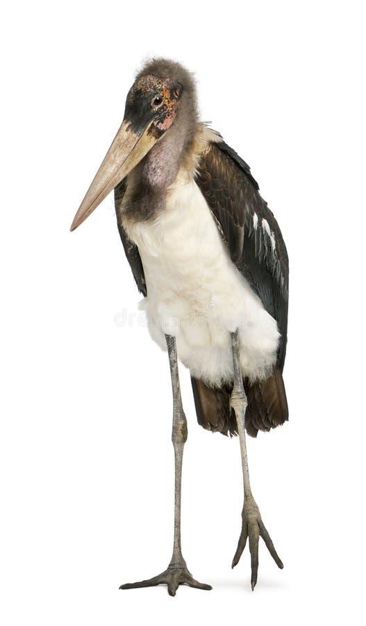Πορτρέτο Marabou του πελαργού, crumeniferus Leptoptilos, ενός έτους βρέφος στοκ φωτογραφία