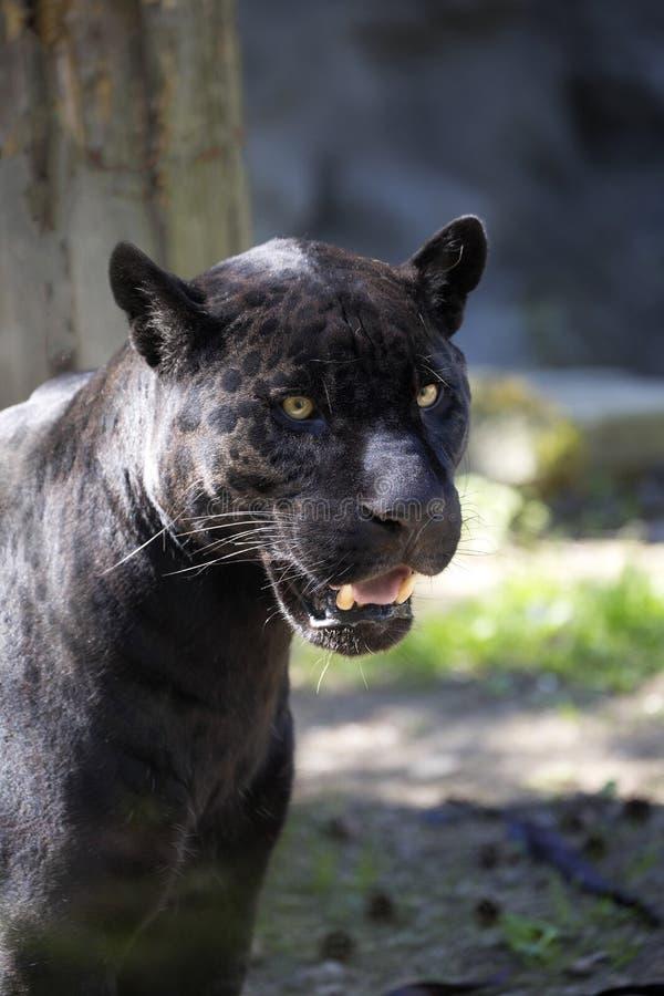 Πορτρέτο, onca Panthera ιαγουάρων, μαύρη μορφή στοκ φωτογραφίες με δικαίωμα ελεύθερης χρήσης