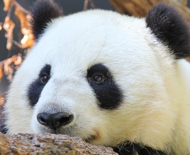 πορτρέτο panda στοκ εικόνα