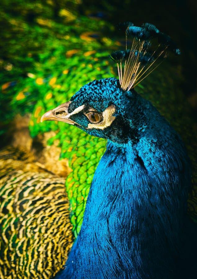 Πορτρέτο Peacock στοκ εικόνα με δικαίωμα ελεύθερης χρήσης