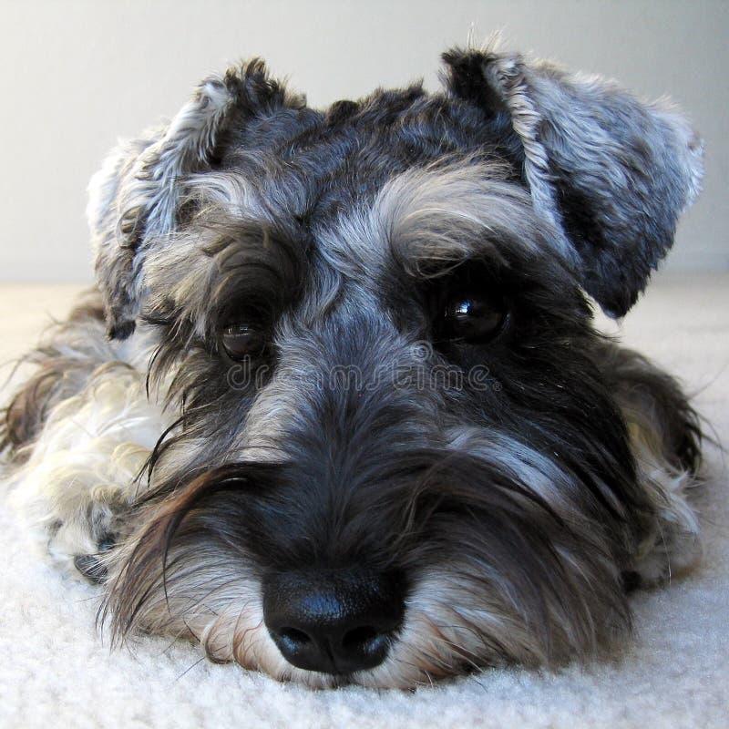 πορτρέτο S σκυλιών Στοκ εικόνα με δικαίωμα ελεύθερης χρήσης