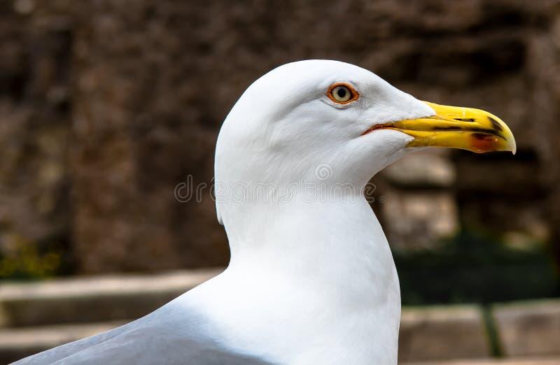 Πορτρέτο Seagull με το άσπρο φτέρωμα στοκ φωτογραφία με δικαίωμα ελεύθερης χρήσης