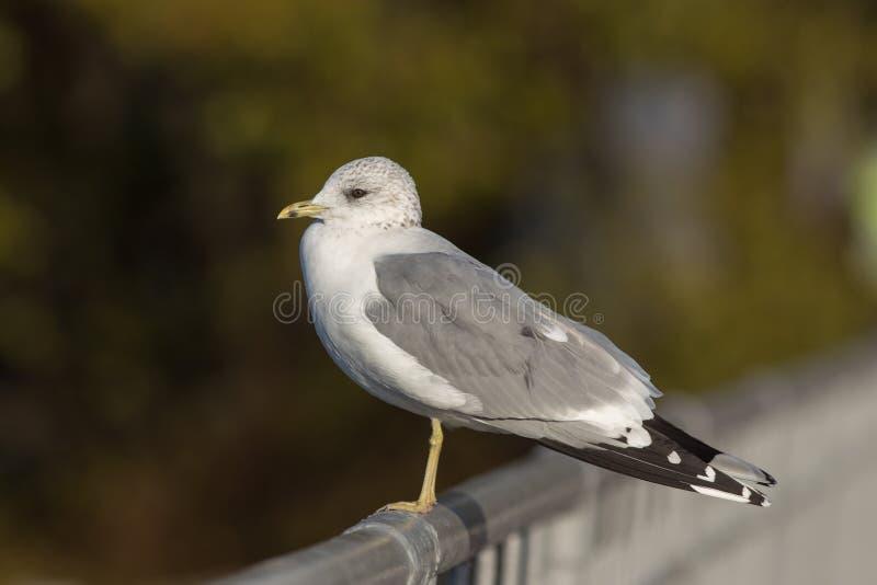 Πορτρέτο seagull στοκ εικόνα