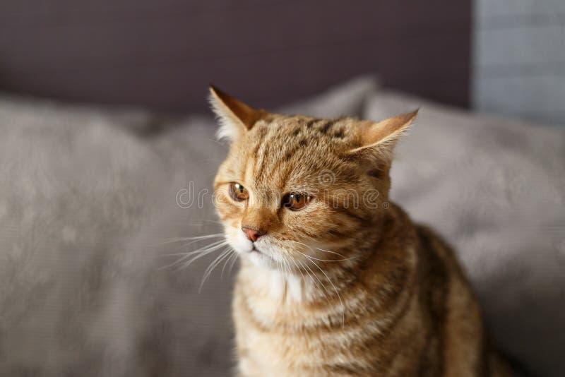 Πορτραίτο χαριτωμένο ενός γατάκια Σκωτσέζικα Ετίλ στοκ φωτογραφία με δικαίωμα ελεύθερης χρήσης