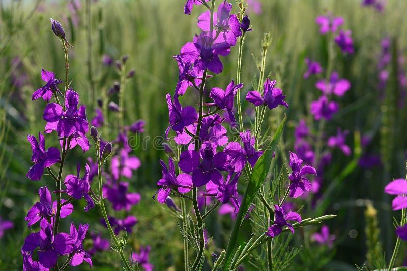 Πορφυρά άγρια λουλούδια στο σίτο - λεπτομέρεια στοκ εικόνα