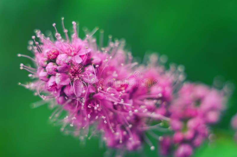 Πορφυρά ανθίζοντας λουλούδια salicifolia Spiraea στοκ εικόνα