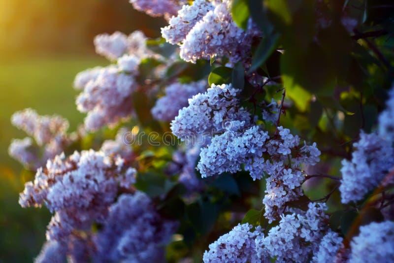 Πορφυρά ιώδη λουλούδια υπαίθρια στοκ φωτογραφία με δικαίωμα ελεύθερης χρήσης
