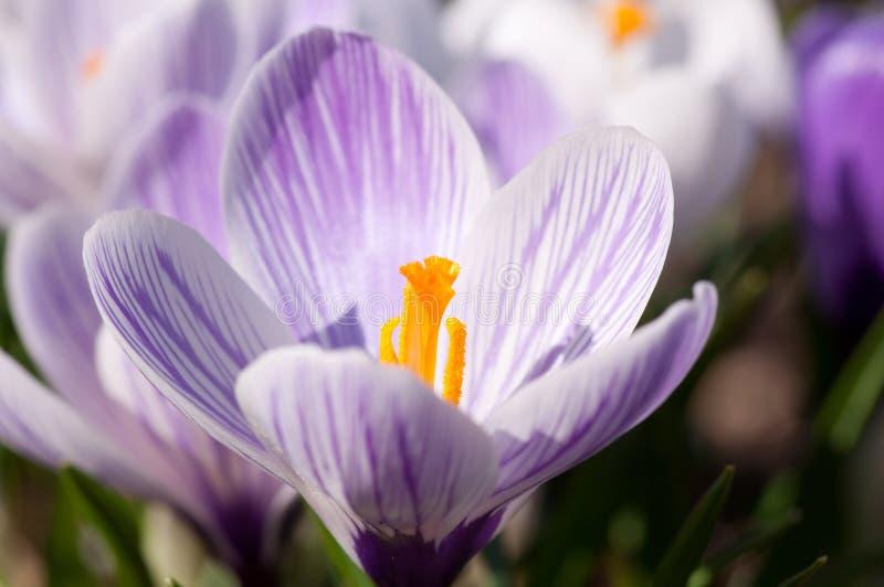 Πορφυρά και άσπρα λουλούδια κρόκων στοκ εικόνες
