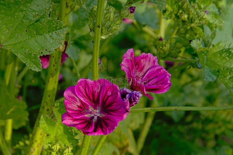 Πορφυρά κοινά mallow λουλούδια στον κήπο - Malva sylvestris στοκ εικόνες