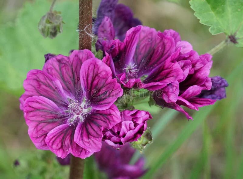 Πορφυρά κοινά Mallow λουλούδια στοκ εικόνα με δικαίωμα ελεύθερης χρήσης