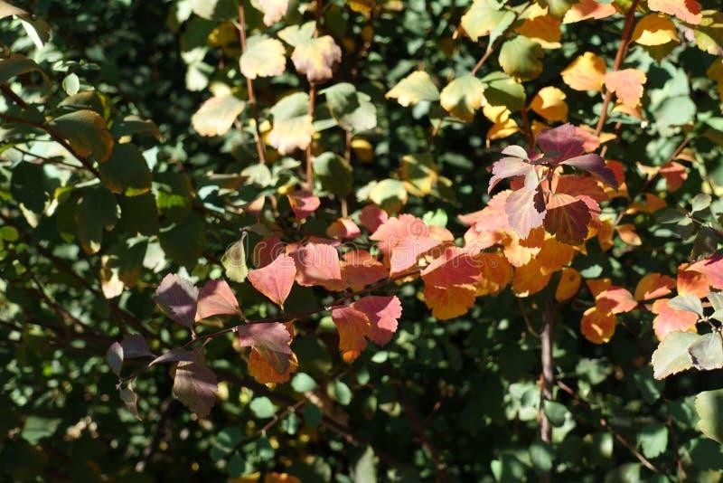 Πορφυρά, κόκκινα και κίτρινα φύλλα του vanhouttei Spiraea στοκ φωτογραφία με δικαίωμα ελεύθερης χρήσης