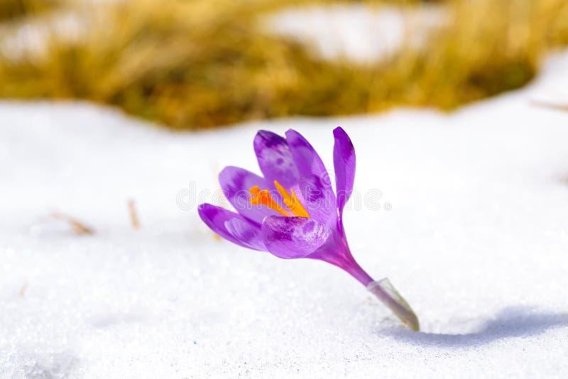 Πορφυρά λουλούδια κρόκων στο χιόνι που ξυπνά την άνοιξη στοκ εικόνες