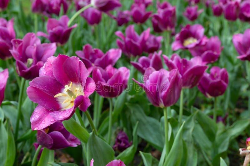 Πορφυρά λουλούδια με τις πτώσεις νερού στοκ εικόνες