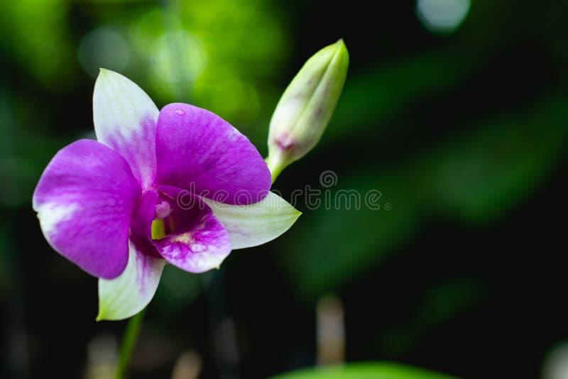 Πορφυρά λουλούδια ορχιδεών στον κήπο πολύ όμορφο στο σκοτεινό backg στοκ φωτογραφίες με δικαίωμα ελεύθερης χρήσης