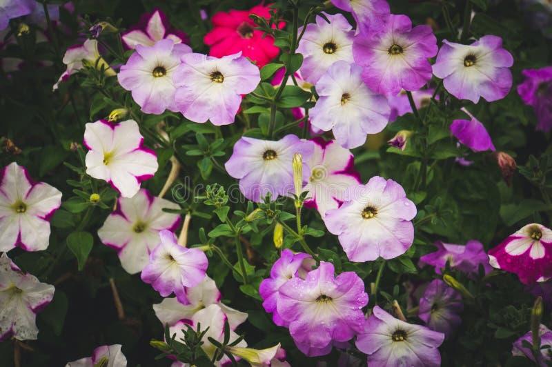 Πορφυρά λουλούδια πετουνιών στον κήπο στοκ εικόνα με δικαίωμα ελεύθερης χρήσης