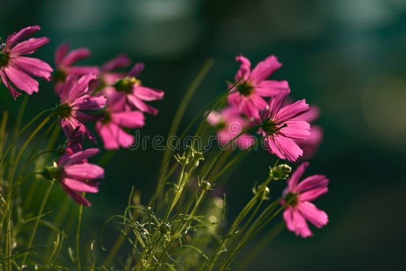 Πορφυρά λουλούδια που αυξάνονται στον κήπο που τονίζεται μέχρι το πρωί στοκ φωτογραφία